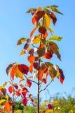 jesień niebieskiego nieba drzewo fotografia royalty free
