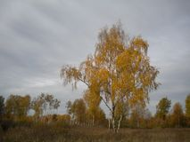 Jesień odludna brzoza zdjęcie royalty free