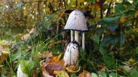 Jesień prezent natura - pieczarki Obraz Royalty Free