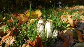 Jesień prezent natura - pieczarki Zdjęcie Royalty Free