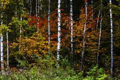 Jesień rosjanina las Obrazy Stock