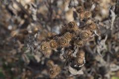 Jesień Seedheads Fotografia Royalty Free