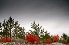 jesień sosna kolorowa lasowa Fotografia Royalty Free