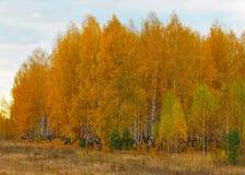 Jesień w brzoza lesie Obraz Royalty Free
