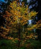 Jesień w drzewie Obraz Royalty Free