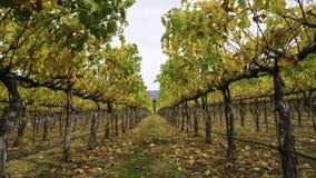 Jesień winnicy Fotografia Royalty Free