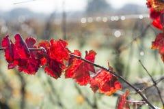 Jesień winograd Obraz Stock