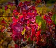 Jesień winogradu czerwieni krajobraz France Zdjęcia Royalty Free