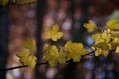 jesienią abstrakcyjne tła zestaw projektów Liście i ulistnienie Zdjęcie Royalty Free