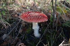 jesienią amanita muscaria grzybów niebezpieczeństw zdjęcie royalty free