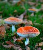 jesienią amanita muscaria grzybów niebezpieczeństw Zdjęcie Stock