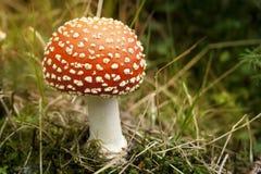 jesienią amanita muscaria grzybów niebezpieczeństw Obrazy Royalty Free