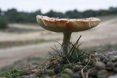 jesienią amanita muscaria grzybów niebezpieczeństw Zdjęcia Stock