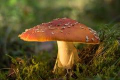 jesienią amanita muscaria grzybów niebezpieczeństw Komarnicy bedłki lub komarnicy amanita substancji toksycznej grzyb Jadowita pi obrazy stock