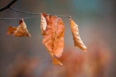 jesienią upadek tła zostaw klona Obrazy Royalty Free