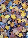 jesienią upadek tła zostaw klona Zdjęcia Royalty Free