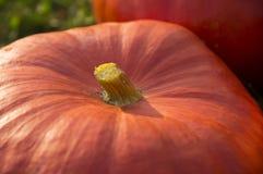 jesienią upadku tła gospodarstw duże garnitur pola kukurydziane pełne wielkiego Halloween się jacks zbiorów pomarańczy z Listopad Zdjęcia Royalty Free