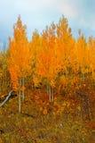 jesienią złoto Zdjęcia Royalty Free