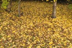 jesienią zbliżenie kolor tła ivy pomarańczową czerwień liści obrazy stock