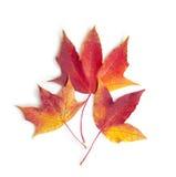 jesienią zbliżenie kolor tła ivy pomarańczową czerwień liści Fotografia Royalty Free