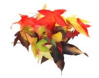 jesienią zbliżenie kolor tła ivy pomarańczową czerwień liści Obraz Royalty Free