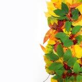 jesienią zbliżenie kolor tła ivy pomarańczową czerwień liści kolorowi liście odizolowywający na bielu Zdjęcia Stock