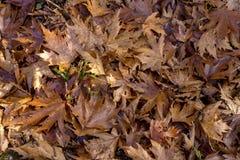 jesienią zbliżenie kolor tła ivy pomarańczową czerwień liści Spadać, moczy liście jaworowych w jesień lesie przy pogodną pogodą w obrazy stock