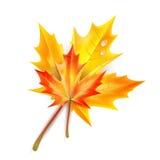 jesienią, zostaw upadek klonów Canada Zdjęcie Royalty Free