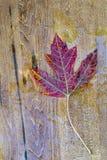 jesienią, zostaw upadek klonów Canada Obrazy Royalty Free
