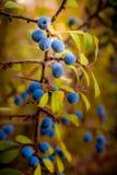 Jesieni śliwki gałąź Fotografia Stock