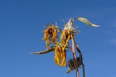 Jesieni śmierć spadku koloru żółtego wildflower zdjęcia stock