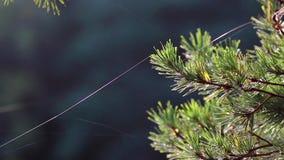 Jesieni światło słoneczne łapiący na sosny igłach z pająk sieci chlaniem w popióle podczas jesieni zbiory wideo