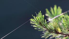 Jesieni światło słoneczne łapiący na sosny igłach z pająk sieci chlaniem w popióle podczas jesieni zbiory
