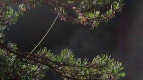 Jesieni światło słoneczne łapiący na sosny igłach z pająk sieci chlaniem w popióle podczas jesieni zdjęcie wideo