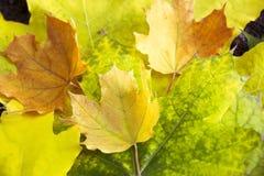 Jesieni żółtej zieleni liścia klonowego pomarańczowy zakończenie jako graficzny zasoby Zdjęcie Royalty Free
