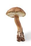 Jesieni żniwo dziki pieczarkowy brown nakrętka borowik & x28; Leccinum& x29; iso Obrazy Stock