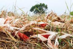 Jesieni żniwo kukurydzany pole z złoto liśćmi i kukurydzany sedno Zdjęcie Royalty Free