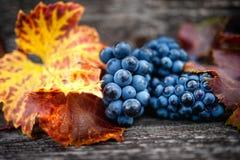 Jesieni żniwo przy winnicą z świeżymi, życiorys czerwonymi winogronami, Fotografia Stock