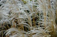 jesienią 2 trawy Zdjęcie Royalty Free