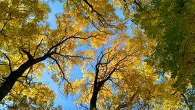 Jesieni akaci drzewa Obraz Stock