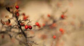 jesienią ashberry skupisko Rosji fotografia stock