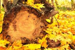 Jesieni bela i liście Zdjęcie Royalty Free