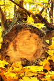 Jesieni bela i liście Zdjęcia Royalty Free
