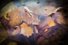 Jesieni brązu spadku liście zanurzali w podeszczowej wodzie w starym ptaka skąpaniu fotografia stock