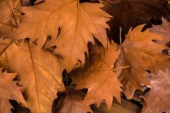 Jesieni brązu susi liście zdjęcia royalty free