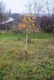 Jesieni brzoza Fotografia Stock