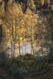 Jesieni brzozy drzewa przy Loch Pityoulish w średniogórzach Szkocja Obrazy Royalty Free