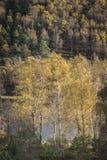 Jesieni brzozy drzewa przy Loch Pityoulish w średniogórzach Szkocja Fotografia Stock