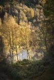 Jesieni brzozy drzewa przy Loch Pityoulish w średniogórzach Szkocja Zdjęcia Royalty Free