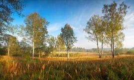 Jesieni brzozy krajobrazu panorama Fotografia Royalty Free